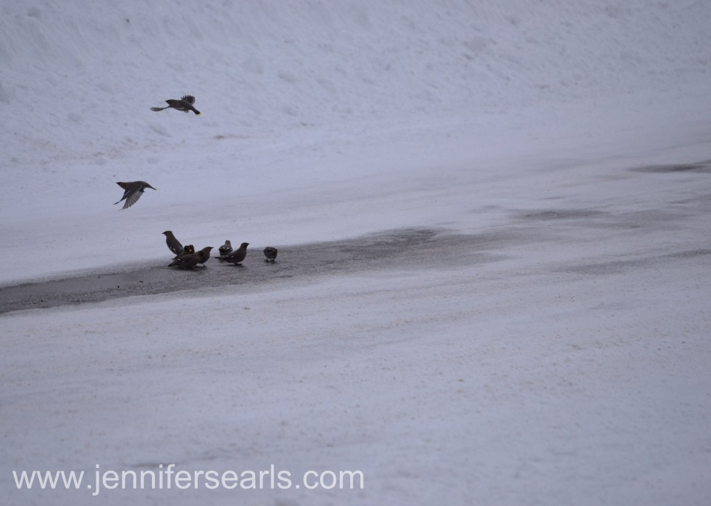 Waxwings in Icy Puddle