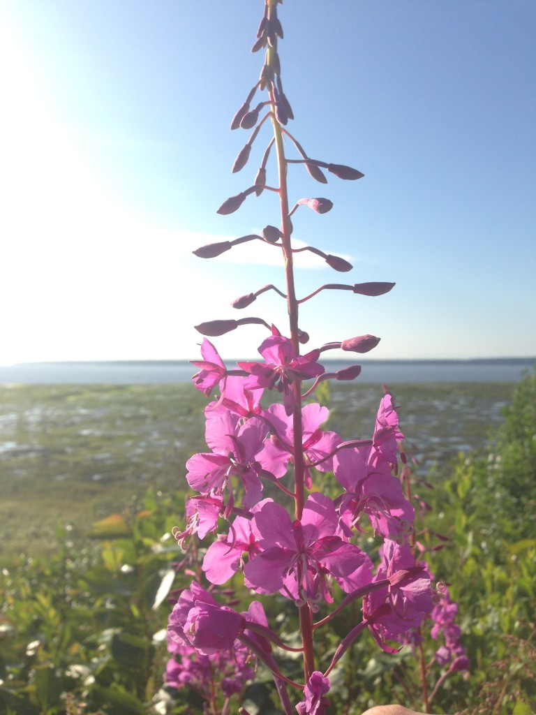 Fireweed Cook Inlet Coastal Trail