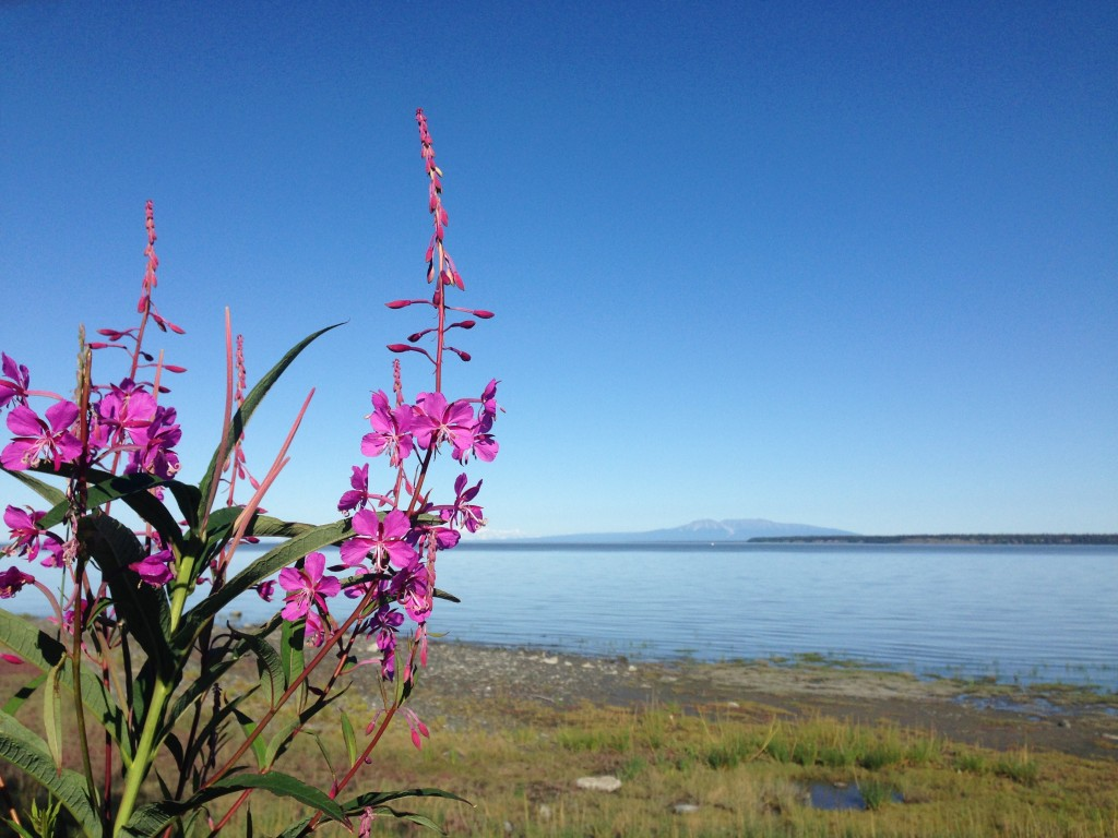 Fireweed _ Susitna