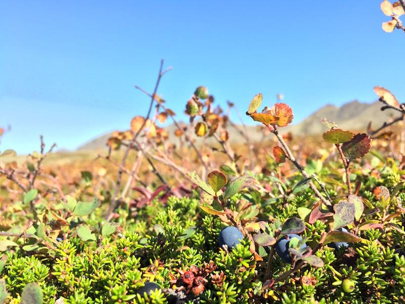 Blueberries Mt Baldy