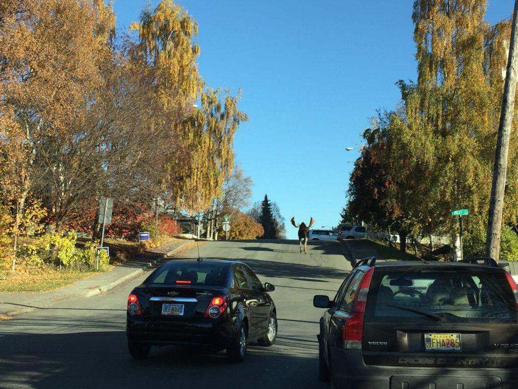 moose heading across l street