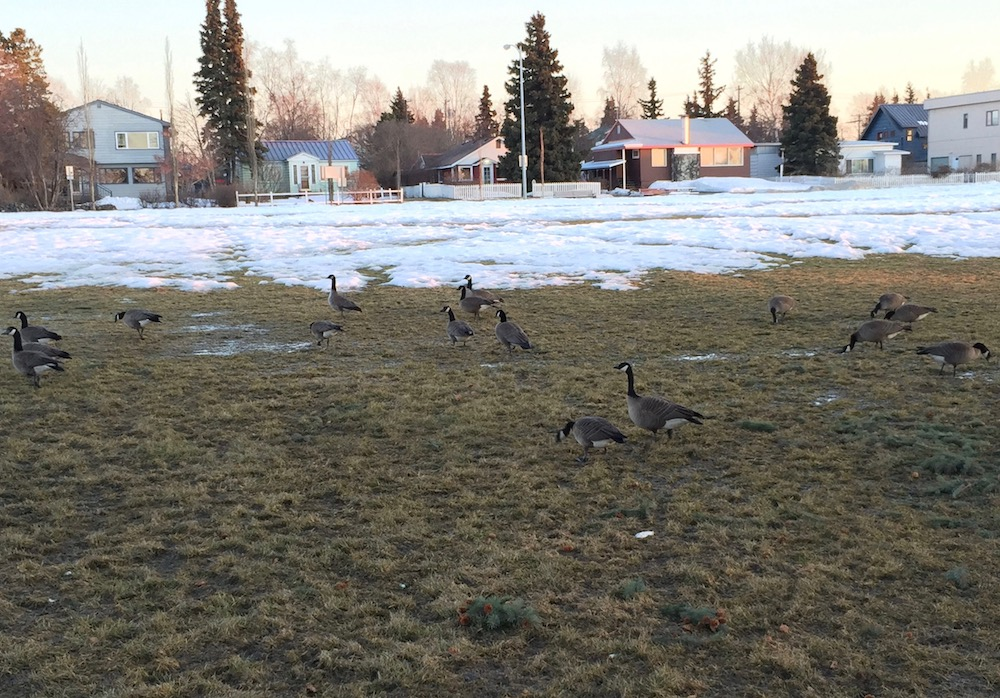 Geese in the Spring Park Strip