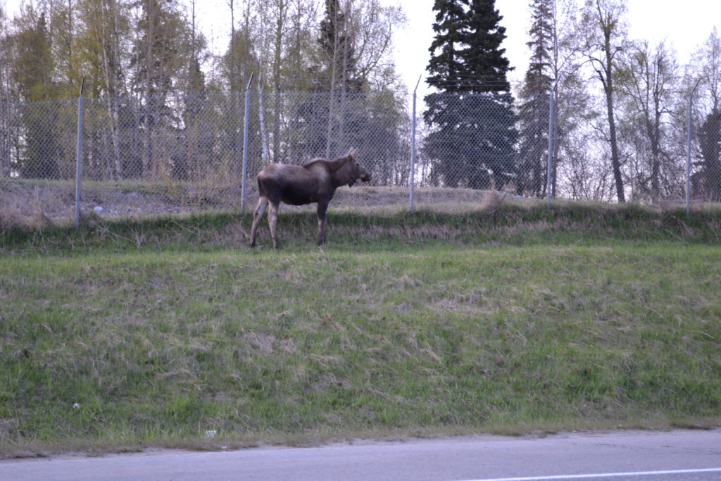 moose near Kincaid Park