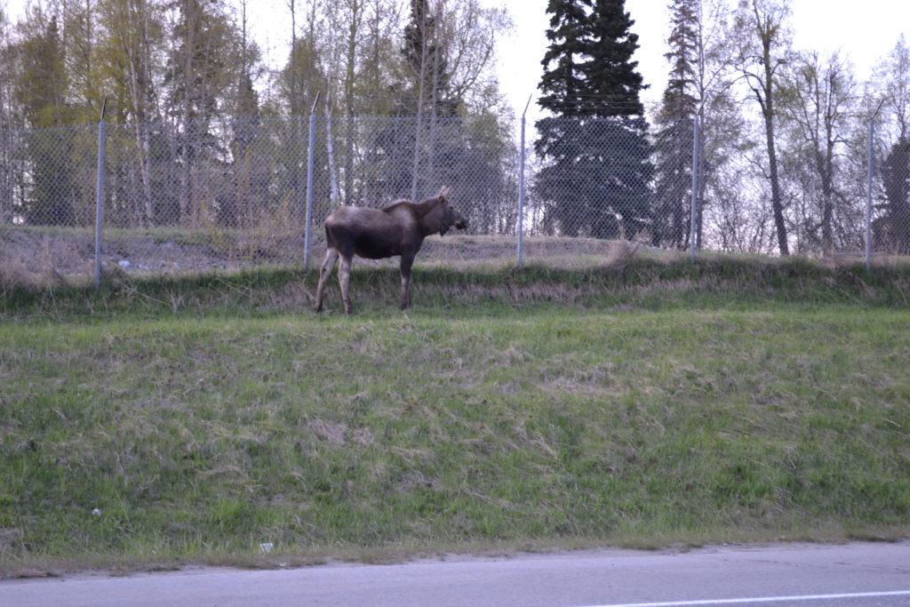 moose near Kincaid Park