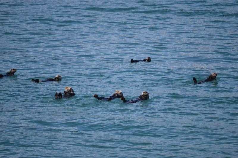 Major Marine Tours Otters