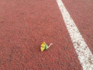 dandelion resilience