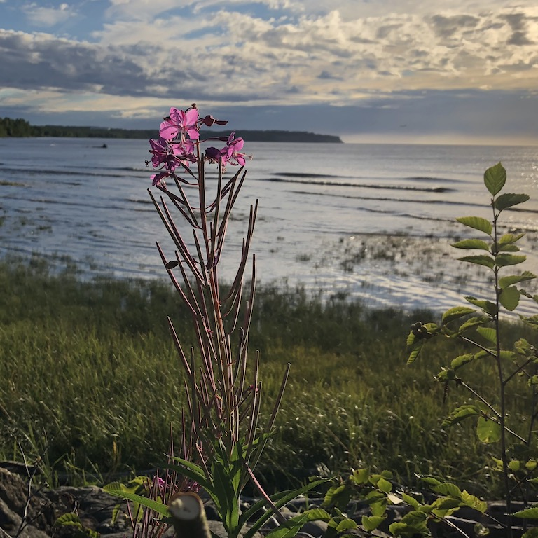 End of Summer Fireweed