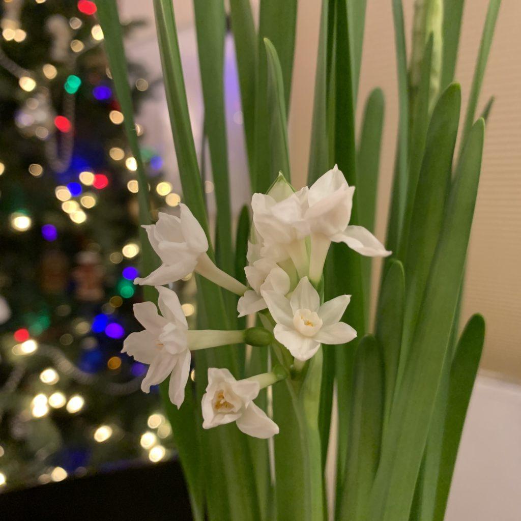 Paperwhite Bloom