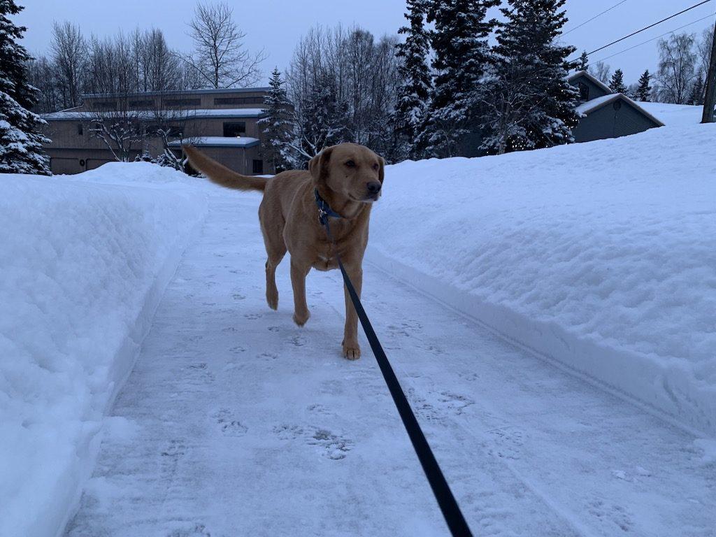 Dog walking on sidewalk in Anchorage winter
